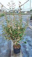 Eleagno - Eleagnus Ebbingei vaso 18 (OFFERTA 20 piante)