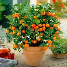 Citrus Bonsai Mandarin Orange Edible Fruit Bonsai Tree Seeds Healthy Food Home G