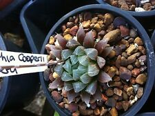 HAWORTHIA COOPERII PILIFERA (6CM specimen well established specimen on offer)