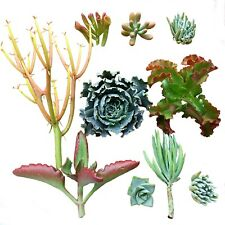 """10 Assorted Live Succulent Cuttings, Echeveria """"Blue Curls'', ''Krinkle Red''"""