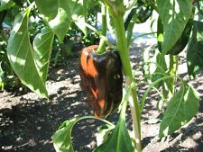 Mulato Isleno marroni chili dal Messico clemenza Chilli F. messicane mole