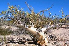 Elephant Tree, Pachycormus discolor Caudiciform trunk caudex bonsai seed 5 SEEDS