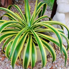 Rare Agave Succulent ( GOLDEN MOMENTS ) Variegated~THE REAL DEAL~1 PLANT