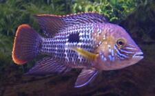 Green Terror Cichlid Live Freshwater Aquarium Fish