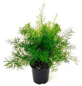 1 Asparagus Fern Sprengeri Trailing  House Office Plant in 12cm pot