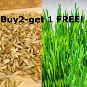 Organic Cat Oat Grass Seeds Pets Love it! - dogs, lizards, Tortoise, guinea pigs
