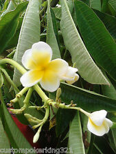 Hawaiian Plumeria Tree, Frangi Pani Tree, White W/Yellow Center, Sweet Fragrance