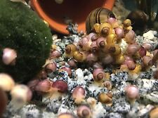 New listing 1 Mystery Snail - Gold