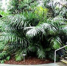 ARENGA ENGLERI PALM handsome dwarf showy plant in 200mm pot
