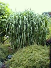 4 x Riesen Chinaschilf, ideal als Hecke und Sichtschutz, Miscanthus giganteus