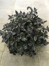 5 Rare Wandering Jew Plant Cuttings Dark Purple plant