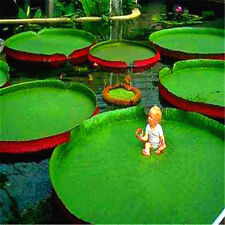 Victoria Amazonica Giant Waterlily Seed Professional Pack Rare Giant Lotus Seeds