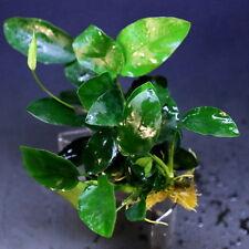 La Anubias Nana 48 ~ 64 Hojas-Live planta de acuario peces Moss