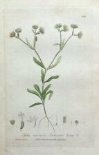 LAMB'S LETTUCE, FEDIA Baxter Antique Engraved Botanical Flower Print 1841