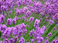 3500+ estratto di semi angustifolia-vero Lavanda Confezione