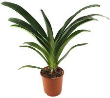"""Angraecum """"Crestwood"""" XL seltene Orchidee Naturform Sammler weiße Blüten RARITÄT"""