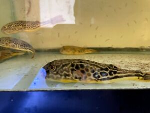 "Mbu Puffer Fish 5"" Tetraodon mbu"