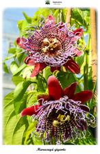 Passiflora quadrangularis - Maracuyá gigante - 10 semillas - Saatgut - Graines