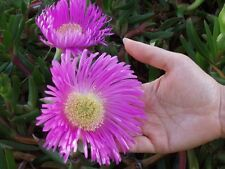Pigface collection 20 cuttings - drought tolerant PLUS booklet about them