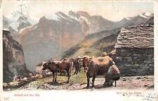 ABEND AUF DER ALP GENEVE SWITZERLAND TO USA COW OXEN FARM ANIMALS POSTCARD 1903