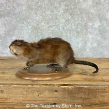#23006 N+ | Muskrat Life-Size Taxidermy Mount