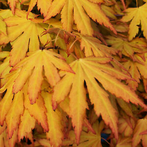 Acer palmatum 'Orange Dream'   Japanese Maple Deciduous Garden Plant Tree In Pot