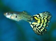 x10 MALES / x10 FEMALES - GREEN COBRA DELTA GUPPY PAIR - FISH LIVE FREE SHIPPING