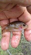"""PINK JACK DEMPSEY CICHLID 3"""" -  2 FISH PACK FREE SHIPPING!!"""