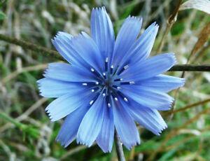 Herb Chicory Blue Dandelion Seeds (Cichorium intybus)