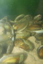 20 Swan Mussels - Natural Ponds/Koi/Carp/Goldfish - MF Aquatics - FREE DELIVERY