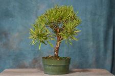 Hardy Narrow Leaf Buttonwood Pre-Bonsai Tree! Tropical Favorite! Good 4 Dedwood!