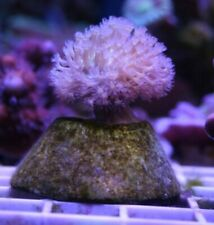 Wysiwyg Live Coral: Long Tentacle Toadstool Leather Coral; Easy Invertebrate!