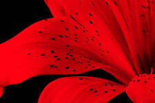 Red Large Floral Wall Canvas Picture Lily on Black A1