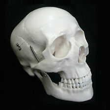 Life Size Anatomical Deluxe Human Skull Model - Medical Skeleton Anatomy Replica