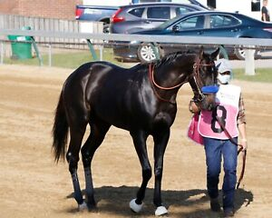 COLOR PHOTO MEDINA SPIRIT Full Body Shot in the walkover for the Kentucky Derby
