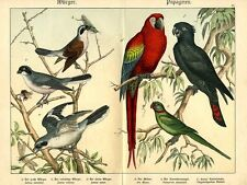 1886 SCHUBERT CHROMOLITHOGRAPH red-tailed black cockatoo, red macaw, parakeet
