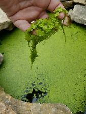 POND DUCK WEED LEMNA MINOR 200+ Live Plants- from my pond. FREE 1 DAY DELIVERY