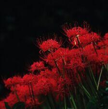 Red Spider Lily, Lycoris Radiata, Hurricane, Surprise, or Resurrection (8) Eight