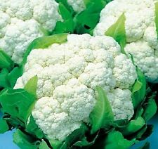 1g (approx. 350) cauliflower seeds ERFURT valuable highly dietary vegetable