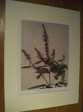 Vintage 1921 Botanical Wildflower Art Print Matted -Hairy Germander or Wood Sage