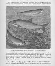 Ziege Pelecus cultratus Rapfen Aspius aspius Holzstich von 1892 Nase Fische