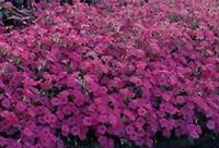 Beautiful Red Garden Petunia Seeds 100 Seeds --BUY 4 ITEMS FREE SHIPPING