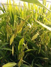 Chasmanthium latifolium/ Northern Sea Oats/ Ornamental Grass/ Plant/ CANADA