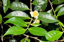 10 Chinese Green Tea -Camellia Sinensis- Great Tea Seeds