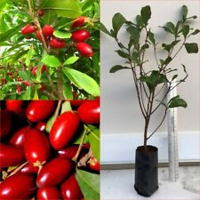 """20"""" tall Miracle berry Tree Synsepalum dulcificum exotic Rare Tropical Plant"""