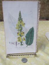 Vintage Print,DARK MULLEIN,Britsh Flowerng Plants,Baxter, 1840
