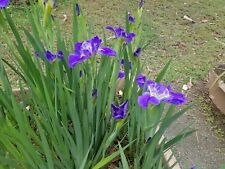 Water iris mixed color s x5