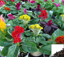 COCKSCOMB MIX - 400 SEEDS - Celosia argentea cristata - ANNUAL FLOWER #763