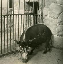 Germany Berlin Zoological Garden African Pork old Stereoview Photo NPG 1900