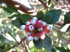 Phyllocladus aspleniifolius - Celery Top Pine - 10 seeds